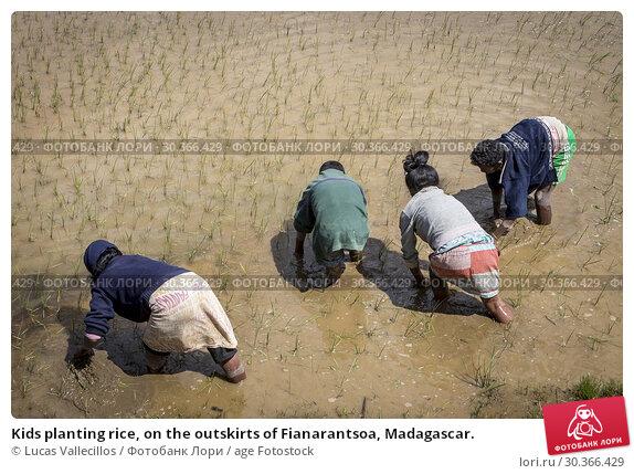 Купить «Kids planting rice, on the outskirts of Fianarantsoa, Madagascar.», фото № 30366429, снято 20 июня 2019 г. (c) age Fotostock / Фотобанк Лори