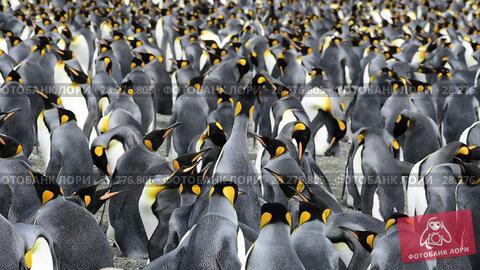 Купить «King Penguins at South Georgia», видеоролик № 28276805, снято 25 февраля 2018 г. (c) Vladimir / Фотобанк Лори
