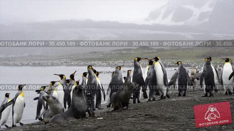 Купить «King Penguins colony on the beach», видеоролик № 30450189, снято 20 августа 2018 г. (c) Vladimir / Фотобанк Лори
