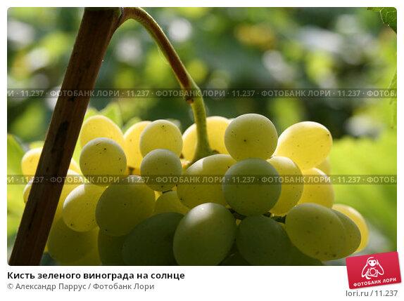 Купить «Кисть зеленого винограда на солнце», фото № 11237, снято 20 августа 2006 г. (c) Александр Паррус / Фотобанк Лори