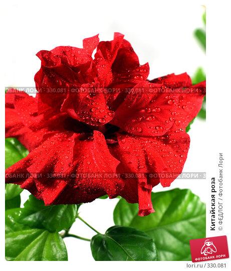 Китайская роза, фото № 330081, снято 22 июня 2008 г. (c) ФЕДЛОГ.РФ / Фотобанк Лори
