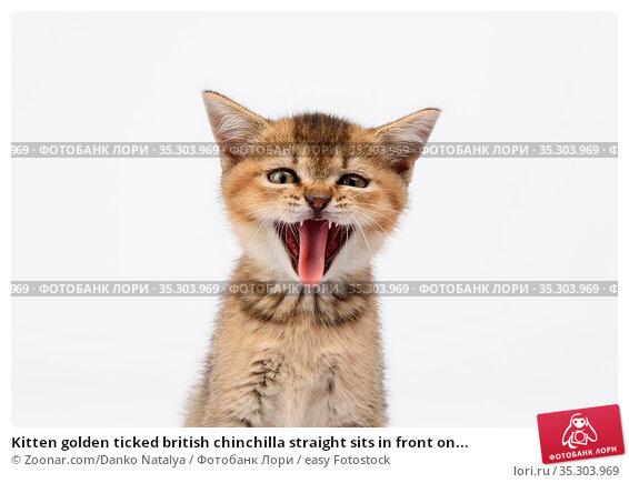 Kitten golden ticked british chinchilla straight sits in front on... Стоковое фото, фотограф Zoonar.com/Danko Natalya / easy Fotostock / Фотобанк Лори