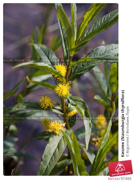 Кизляк (Naumburgia thyrsiflora), фото № 57693, снято 23 июня 2007 г. (c) Argument / Фотобанк Лори