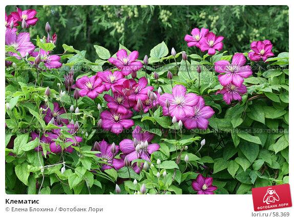 Клематис, фото № 58369, снято 2 июля 2007 г. (c) Елена Блохина / Фотобанк Лори