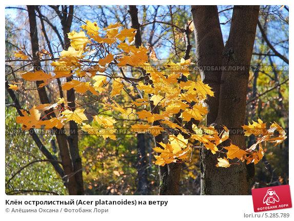Купить «Клён остролистный (Acer platanoides) на ветру», эксклюзивное фото № 5285789, снято 13 октября 2013 г. (c) Алёшина Оксана / Фотобанк Лори