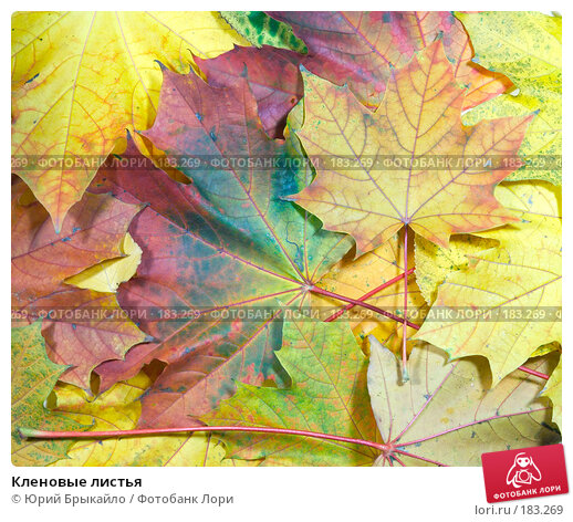 Кленовые листья, фото № 183269, снято 22 октября 2007 г. (c) Юрий Брыкайло / Фотобанк Лори