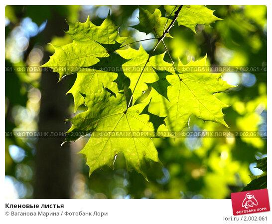 Кленовые листья. Стоковое фото, фотограф Ваганова Марина / Фотобанк Лори