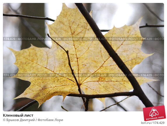 Кленовый лист, фото № 174429, снято 25 октября 2007 г. (c) Брыков Дмитрий / Фотобанк Лори