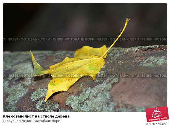 Кленовый лист на стволе дерева, фото № 89889, снято 26 августа 2007 г. (c) Крупнов Денис / Фотобанк Лори