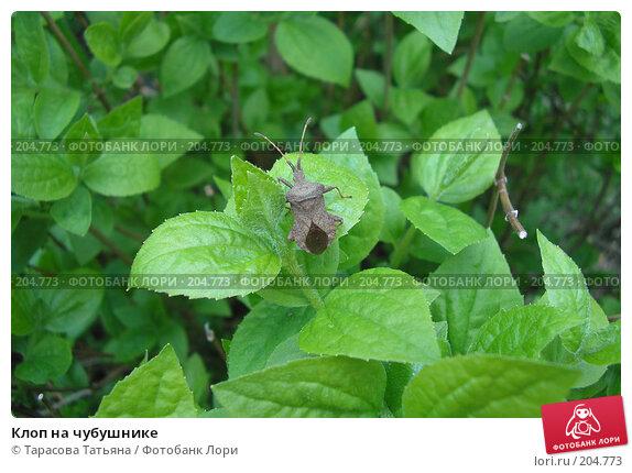 Клоп на чубушнике, фото № 204773, снято 26 апреля 2007 г. (c) Тарасова Татьяна / Фотобанк Лори