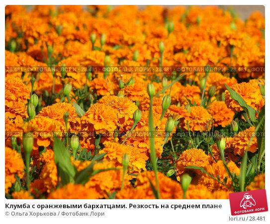Клумба с оранжевыми бархатцами. Резкость на среднем плане, фото № 28481, снято 19 июля 2006 г. (c) Ольга Хорькова / Фотобанк Лори