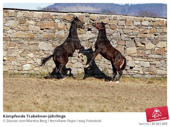 Kämpfende Trakehner-Jährlinge. Стоковое фото, фотограф Zoonar.com/Martina Berg / easy Fotostock / Фотобанк Лори