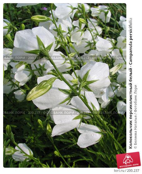 Колокольчик персиколистный белый - Campanula persicifolia, фото № 200237, снято 11 июля 2006 г. (c) Беляева Наталья / Фотобанк Лори