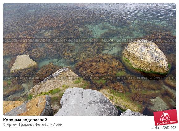 Колония водорослей, фото № 262993, снято 4 мая 2005 г. (c) Артем Ефимов / Фотобанк Лори