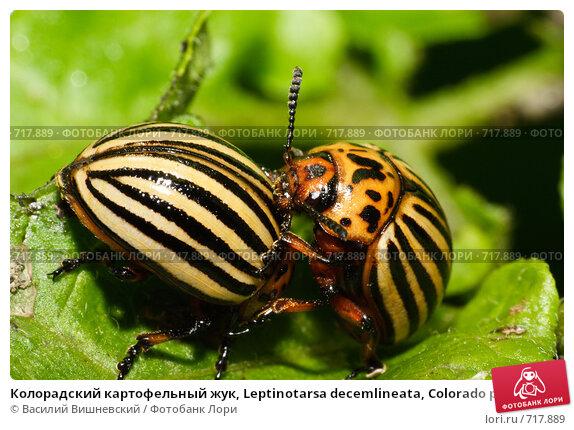 Купить «Колорадский картофельный жук, Leptinotarsa decemlineata, Colorado potato beetle, ten-striped spearman, ten-lined potato beetle», фото № 717889, снято 14 августа 2006 г. (c) Василий Вишневский / Фотобанк Лори