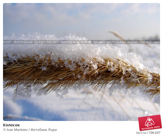 Колосок, фото № 198697, снято 3 февраля 2008 г. (c) Василий Каргандюм / Фотобанк Лори