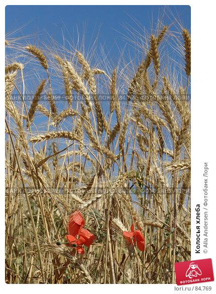Колосья хлеба, фото № 84769, снято 5 июля 2006 г. (c) Alla Andersen / Фотобанк Лори