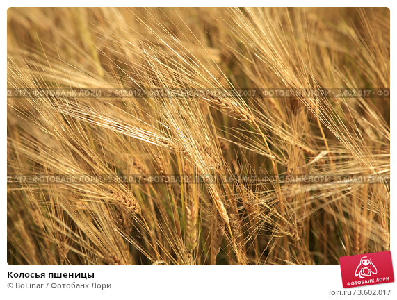 Купить «Колосья пшеницы», фото № 3602017, снято 9 сентября 2011 г. (c) BoLinar / Фотобанк Лори