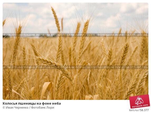 Колосья пшеницы на фоне неба, фото № 58377, снято 1 июля 2007 г. (c) Иван Черненко / Фотобанк Лори