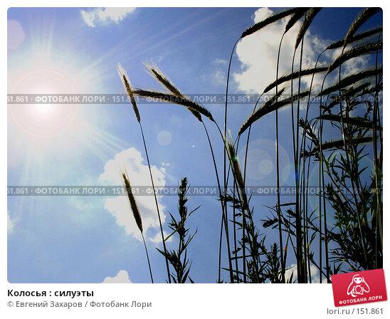 Колосья : силуэты, фото № 151861, снято 11 июля 2006 г. (c) Евгений Захаров / Фотобанк Лори