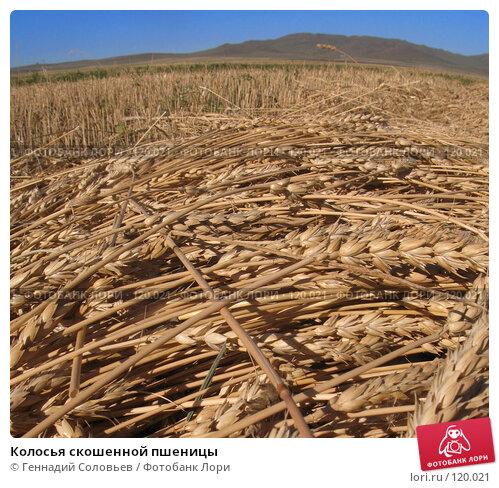 Колосья скошенной пшеницы, фото № 120021, снято 3 сентября 2007 г. (c) Геннадий Соловьев / Фотобанк Лори