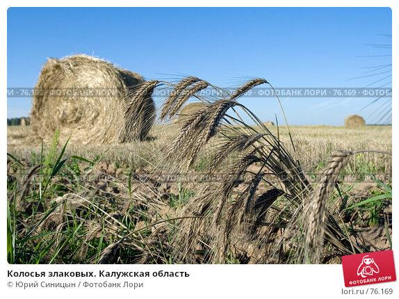 Колосья злаковых. Калужская область, фото № 76169, снято 11 августа 2007 г. (c) Юрий Синицын / Фотобанк Лори