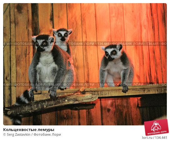 Кольцехвостые лемуры, фото № 134441, снято 25 июля 2017 г. (c) Serg Zastavkin / Фотобанк Лори