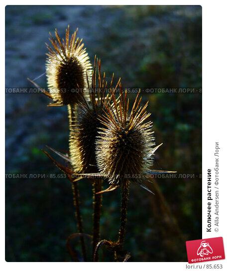 Колючее растение, фото № 85653, снято 24 октября 2006 г. (c) Alla Andersen / Фотобанк Лори