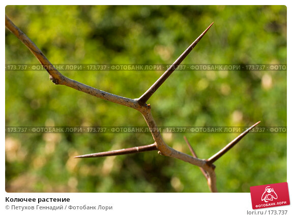 Колючее растение, фото № 173737, снято 12 августа 2007 г. (c) Петухов Геннадий / Фотобанк Лори