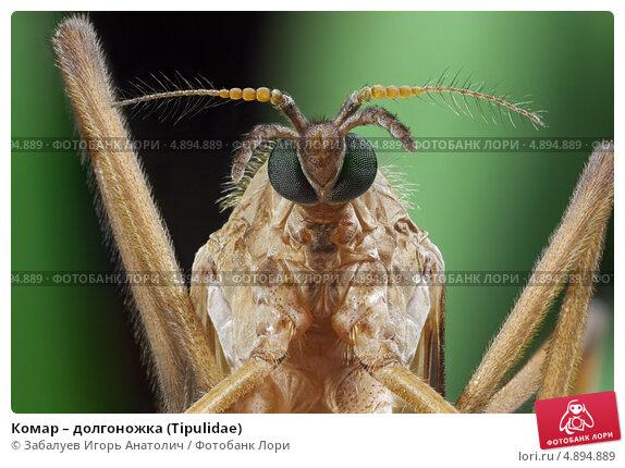 Купить «Комар – долгоножка (Tipulidae)», фото № 4894889, снято 1 июня 2013 г. (c) Забалуев Игорь Анатолич / Фотобанк Лори