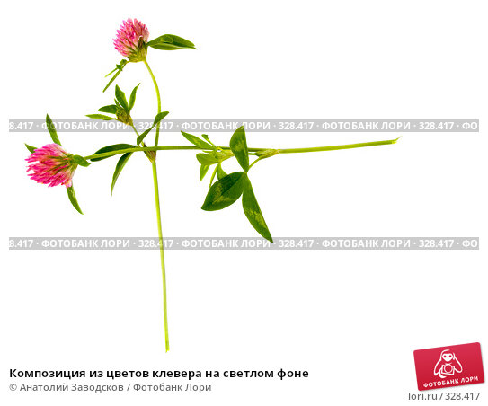 Композиция из цветов клевера на светлом фоне, фото № 328417, снято 12 августа 2006 г. (c) Анатолий Заводсков / Фотобанк Лори