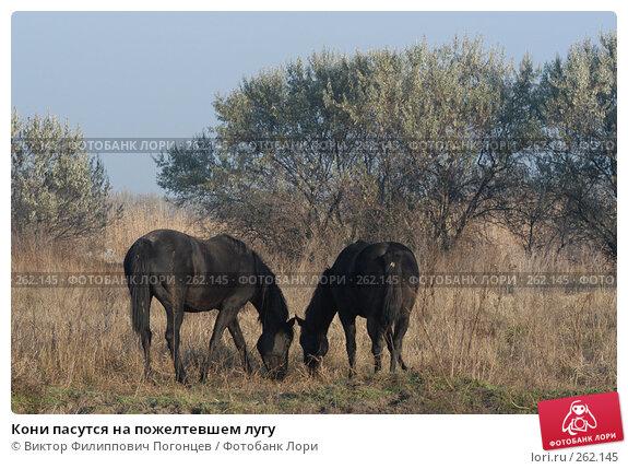 Кони пасутся на пожелтевшем лугу, фото № 262145, снято 6 ноября 2004 г. (c) Виктор Филиппович Погонцев / Фотобанк Лори