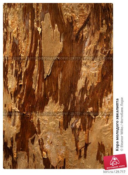 Кора молодого эвкалипта, фото № 29717, снято 15 апреля 2007 г. (c) Eleanor Wilks / Фотобанк Лори
