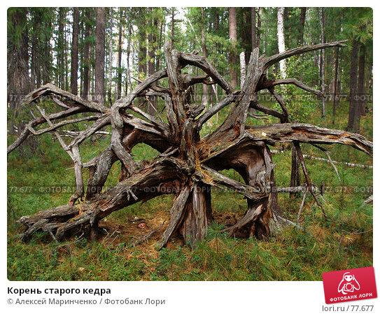 Корень старого кедра, фото № 77677, снято 26 октября 2016 г. (c) Алексей Маринченко / Фотобанк Лори