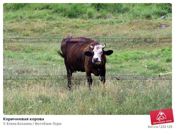 Коричневая корова, фото № 233125, снято 13 июля 2007 г. (c) Елена Блохина / Фотобанк Лори