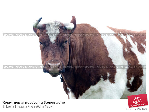 Коричневая корова на белом фоне, фото № 297073, снято 21 мая 2008 г. (c) Елена Блохина / Фотобанк Лори