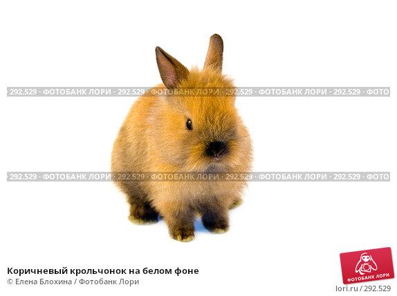 Коричневый крольчонок на белом фоне, фото № 292529, снято 20 мая 2008 г. (c) Елена Блохина / Фотобанк Лори