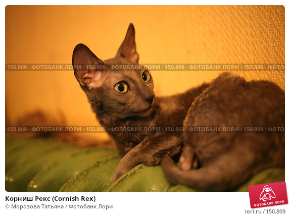 Купить «Корниш Рекс (Cornish Rex)», фото № 150809, снято 3 ноября 2006 г. (c) Морозова Татьяна / Фотобанк Лори