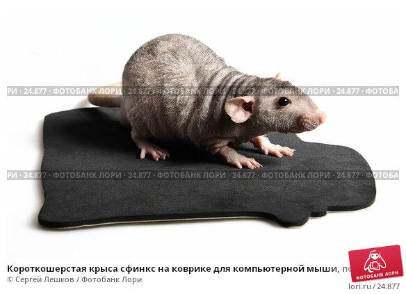 Короткошерстая крыса сфинкс на коврике для компьютерной мыши, полу-боком, фото № 24877, снято 18 марта 2007 г. (c) Сергей Лешков / Фотобанк Лори