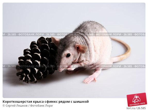 Короткошерстая крыса сфинкс рядом с шишкой, фото № 26585, снято 18 марта 2007 г. (c) Сергей Лешков / Фотобанк Лори