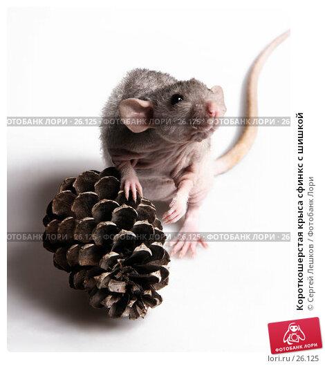Купить «Короткошерстая крыса сфинкс с шишкой», фото № 26125, снято 18 марта 2007 г. (c) Сергей Лешков / Фотобанк Лори