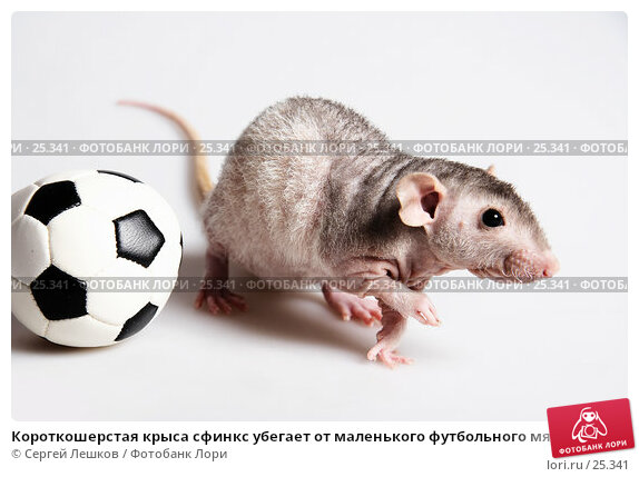 Короткошерстая крыса сфинкс убегает от маленького футбольного мячика, фото № 25341, снято 18 марта 2007 г. (c) Сергей Лешков / Фотобанк Лори