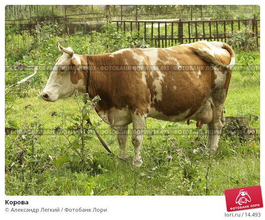 Купить «Корова», фото № 14493, снято 4 августа 2006 г. (c) Александр Легкий / Фотобанк Лори