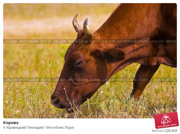Корова, фото № 226829, снято 9 августа 2005 г. (c) Кравецкий Геннадий / Фотобанк Лори