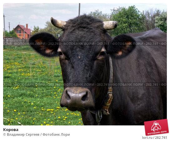 Корова, фото № 282741, снято 11 мая 2008 г. (c) Владимир Сергеев / Фотобанк Лори