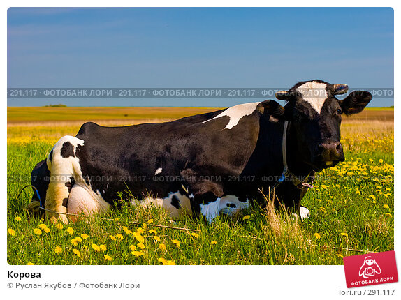 Корова, фото № 291117, снято 17 мая 2008 г. (c) Руслан Якубов / Фотобанк Лори