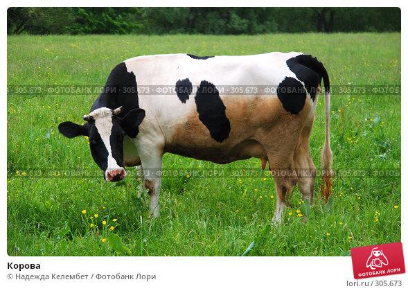 Корова, фото № 305673, снято 31 мая 2008 г. (c) Надежда Келембет / Фотобанк Лори