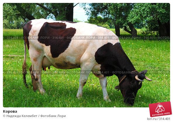 Корова, фото № 314401, снято 31 мая 2008 г. (c) Надежда Келембет / Фотобанк Лори