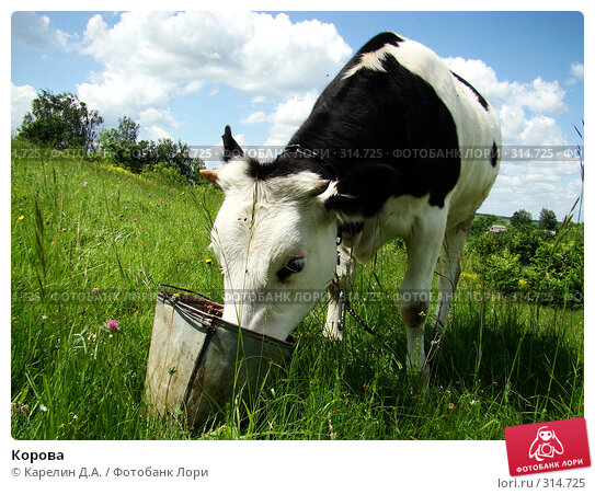 Купить «Корова», фото № 314725, снято 31 мая 2008 г. (c) Карелин Д.А. / Фотобанк Лори