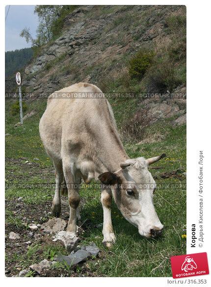 Корова, фото № 316353, снято 31 мая 2008 г. (c) Дарья Киселева / Фотобанк Лори